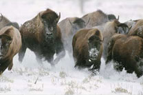 'Wild Bison Stampede - Yellowstone National Park' by Mark Miller